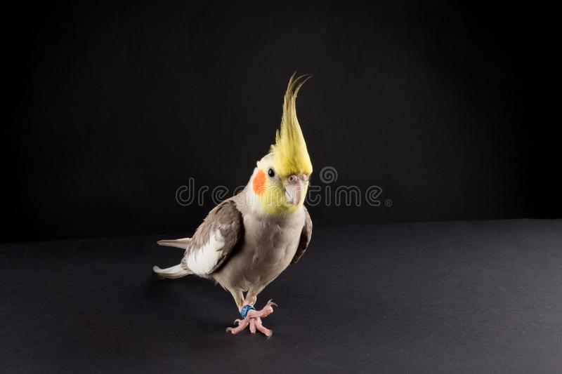 Funny Parrot Scratching an Itch. bird memes,. Funny parrot, walking like a boss. Cinnamon Cockatiel walking isolated on black background, copy space royalty free stock photos