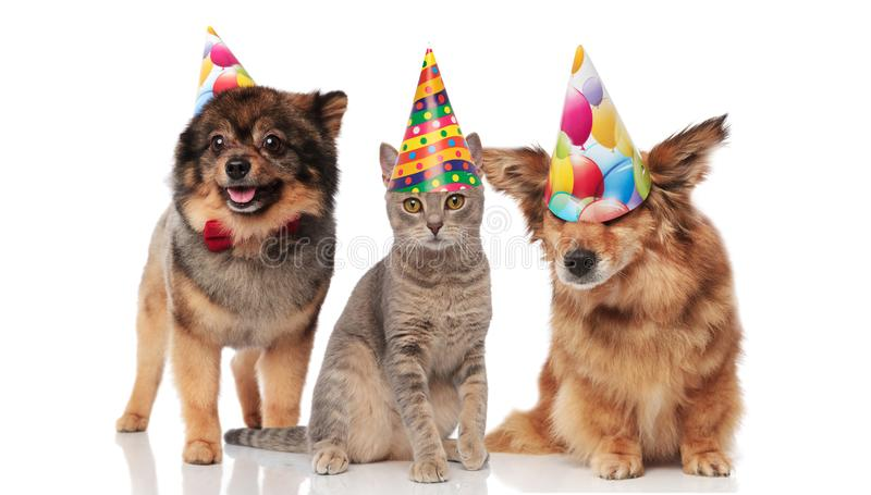 Funny party dogs and a cat wearing birthday caps. While standing and sitting on white background royalty free stock photography