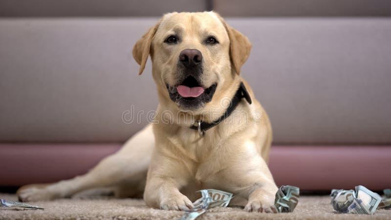 Funny pedigreed dog lying near torn dollar banknotes, house pet misbehaving royalty free stock photo