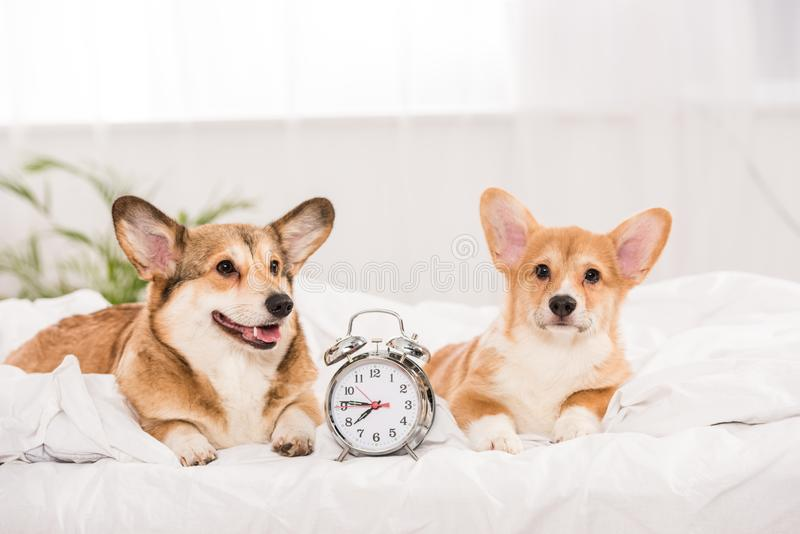Funny pembroke welsh corgi dogs lying in bed with alarm clock. At home stock photos