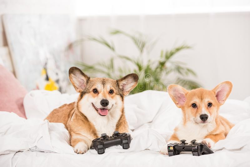 Funny pembroke welsh corgi dogs lying in bed with joysticks. At home stock photos