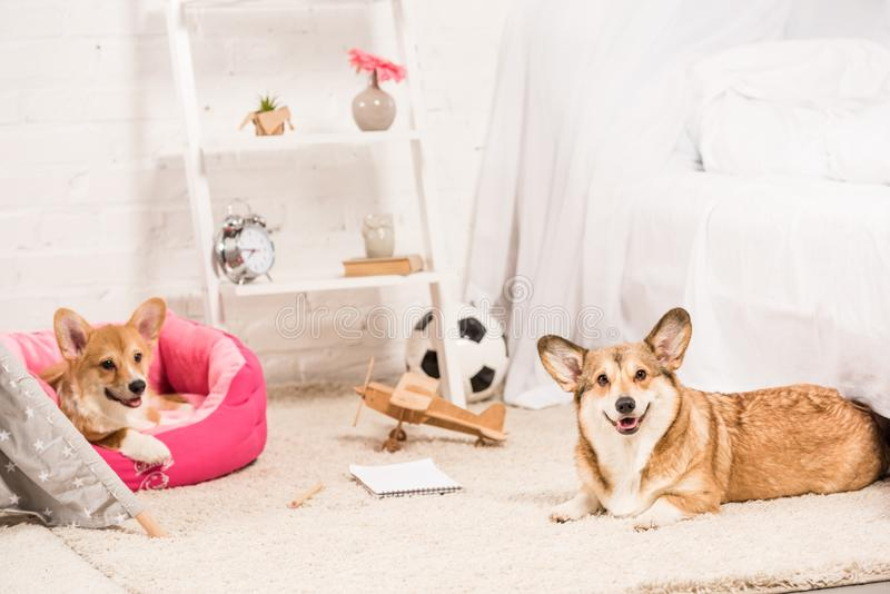 Funny pembroke welsh corgi dogs resting in soft pet house and on fluffy rug. At home stock images