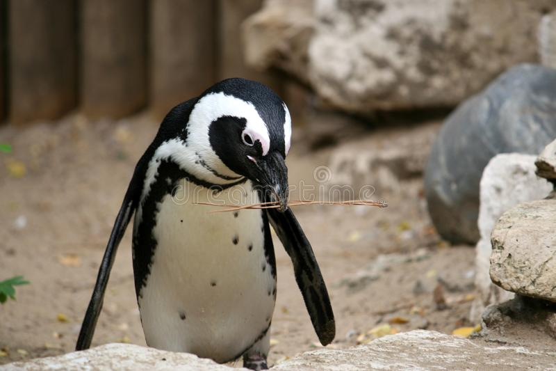 Download Funny Penguin stock image. Image of branch, twig, rock - 10925359