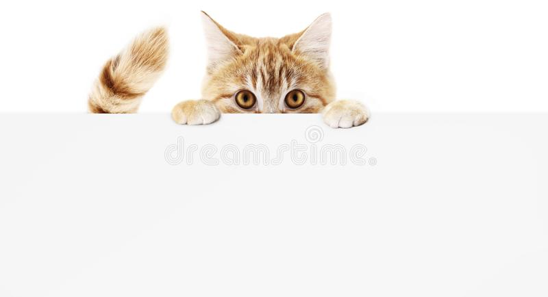 funny pet cat showing a placard isolated on white background blank web banner template and copy space vector illustration