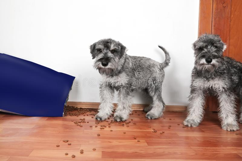 Funny photo of bad naughty schnauzer puppies. Dogs opened a bag of dry dog food  steal and eating granules. royalty free stock photos