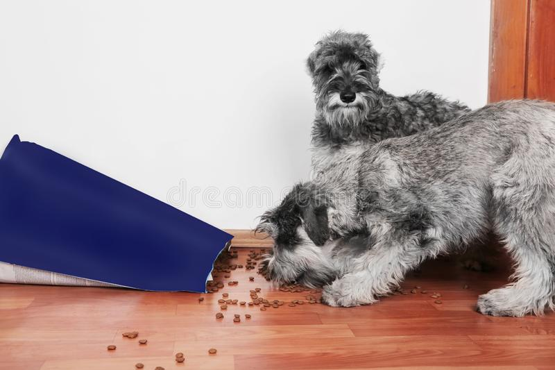 Funny photo of bad naughty schnauzer puppies. Dogs opened a bag of dry dog food  steal and eating granules. Dogs are home alone stock photos