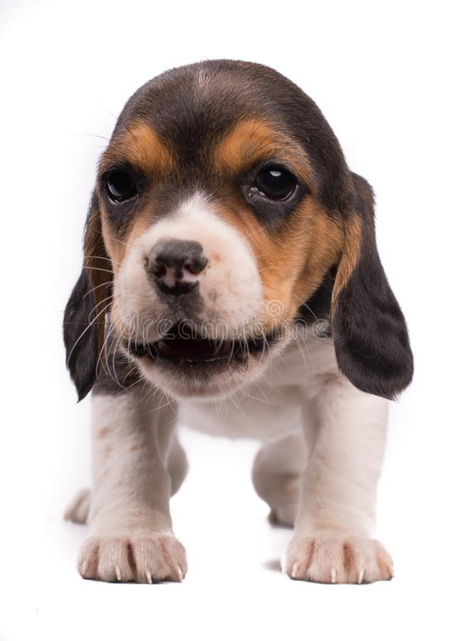 Funny photo of a dog, puppy beagle with the mouth opened eating something stock image
