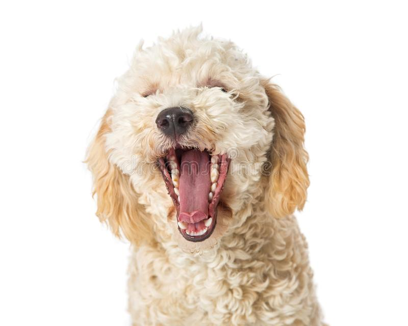 Poodle Dog Yawning Mouth Open Wide. Funny photo of a small Poodle dog with mouth wide open to yawn. Isolated on white royalty free stock images