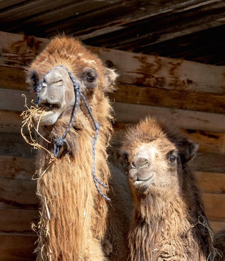 Wo cute camels - mom and her baby are in their wood house in the farm. Funny photo, two cute camels - mom and her baby are in their wood house in the farm. Camel stock photo