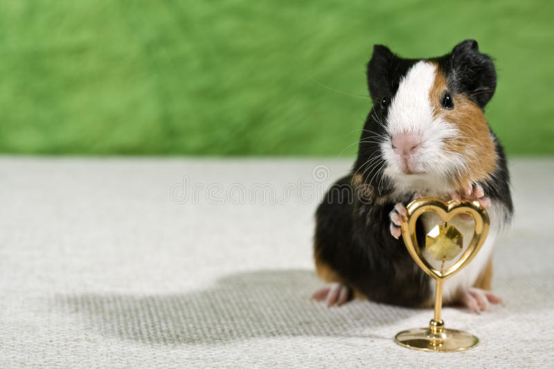 Funny pig stock images