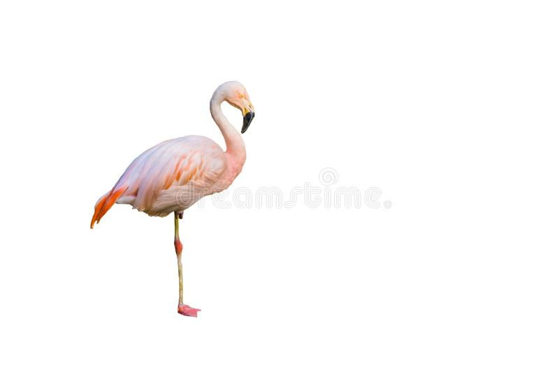 Funny pink flamingo bird standing on one leg isolated on white background. A Funny pink flamingo bird standing on one leg isolated on white background royalty free stock images