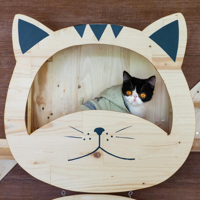 Funny portrait of  black and white cat looking with funny emotions face  on the cat face shelf. Cute little cat sitting under on. DIY wooden cat face shelf royalty free stock images
