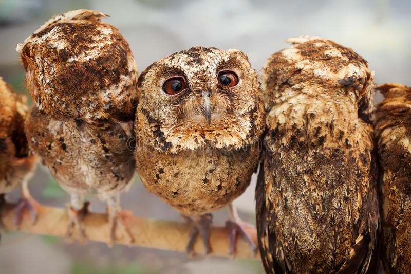 Funny portrait of curious baby owl royalty free stock images