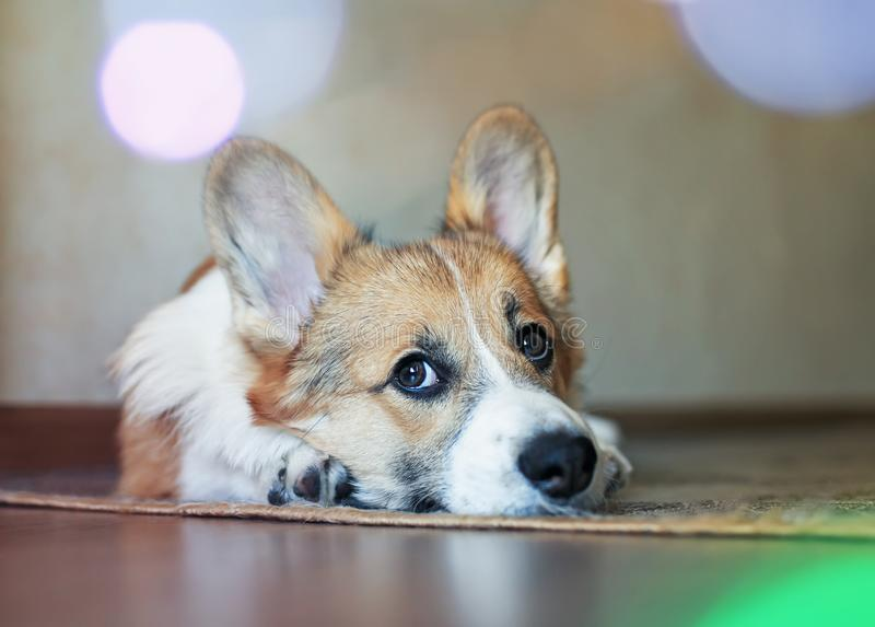 Funny portrait of cute little Corgi dog lying at home and dreamy looking up stock image
