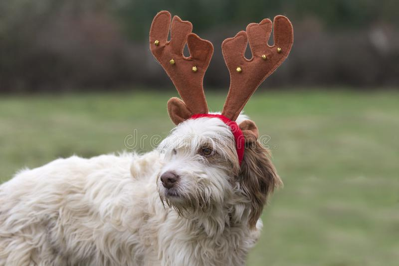 Funny portrait of a dog with reindeer Christmas horns stock photo
