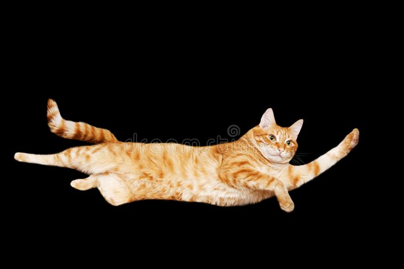 Funny portrait of a flying red cat on a black background. Isolated on black. stock images