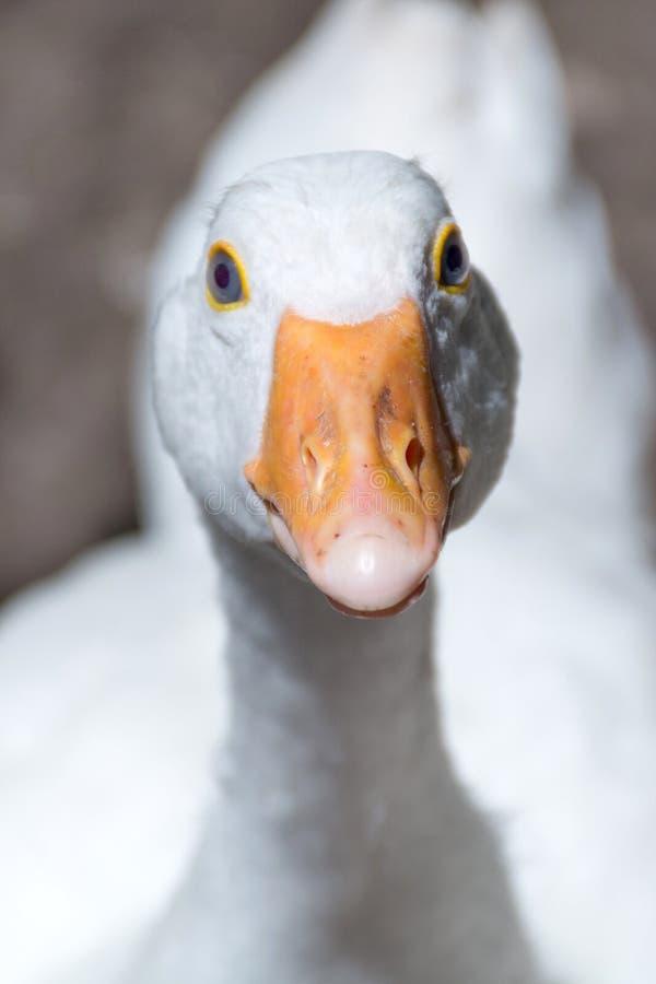 Funny portrait of goose head with orange beak. Funny portrait of white domestic goose head with orange beak in focus. White bird looking at camera. Close up stock photography