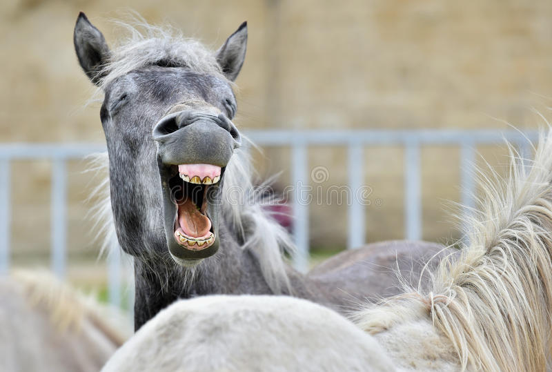 Funny portrait of a laughing horse. royalty free stock image