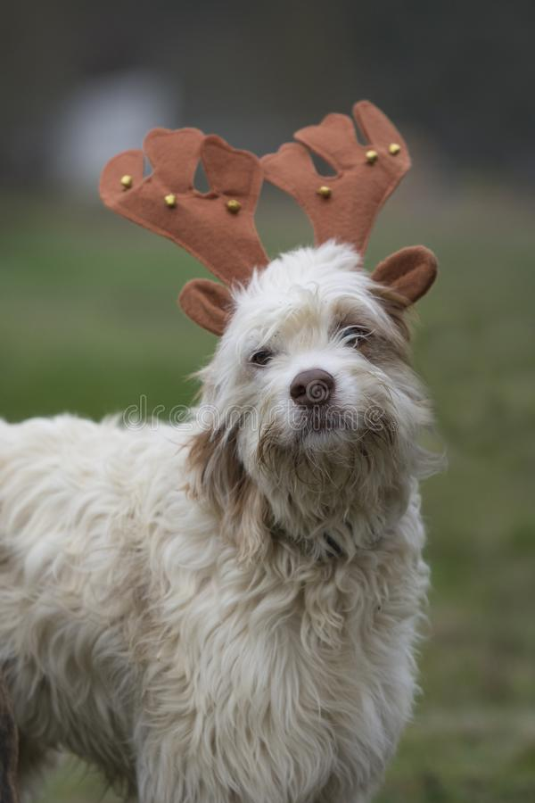 Portrait of a fluffy dog with reindeer Christmas horns stock photography