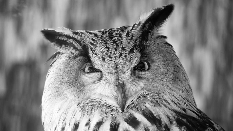 Funny portrait of an owl, black and white stock image
