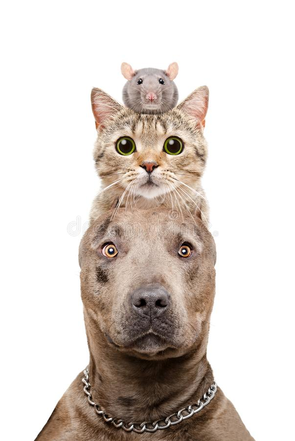 Funny portrait of a pit bull dog, cat and rat stock images