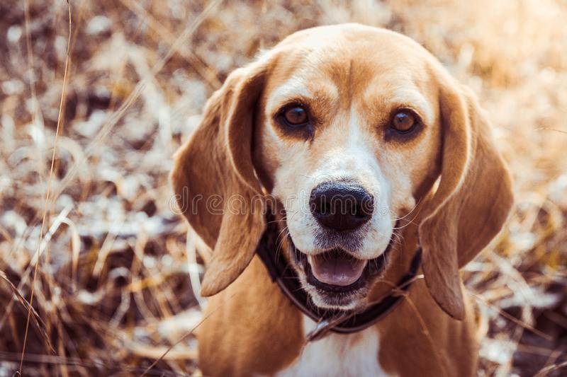 Portrait of pure breed beagle dog. Beagle close up face smiling. Happy dog stock image