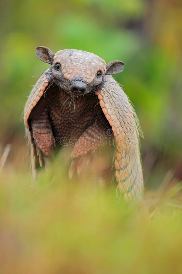 Funny portrait of Southern Naked-tailed Armadillo, Cabassous unicinctus, Pantanal, Brazil. South America stock image