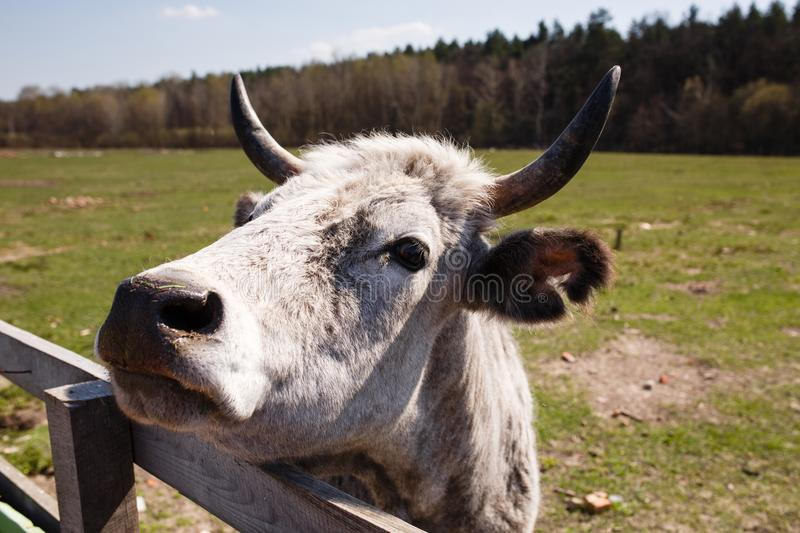 Funny portrait of white cow on the farm stock images