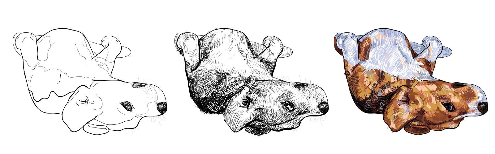 Funny pose of beagle. Beagle is laying down in funny pose royalty free illustration