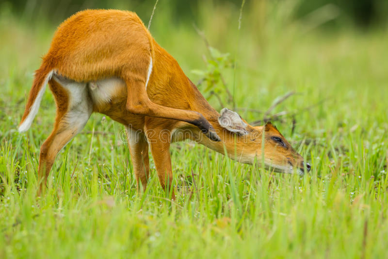 Funny position of Barking deer stock images