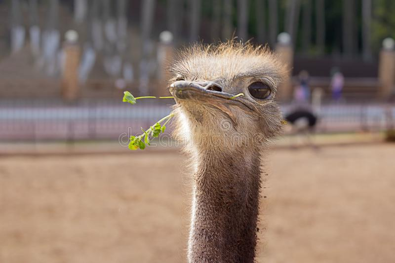 Funny positive proud ostrich, keeping head up, with green grass in its nib in zoo. The head of the big bird peeping out. Picture for blog, emotions, cute stock photo