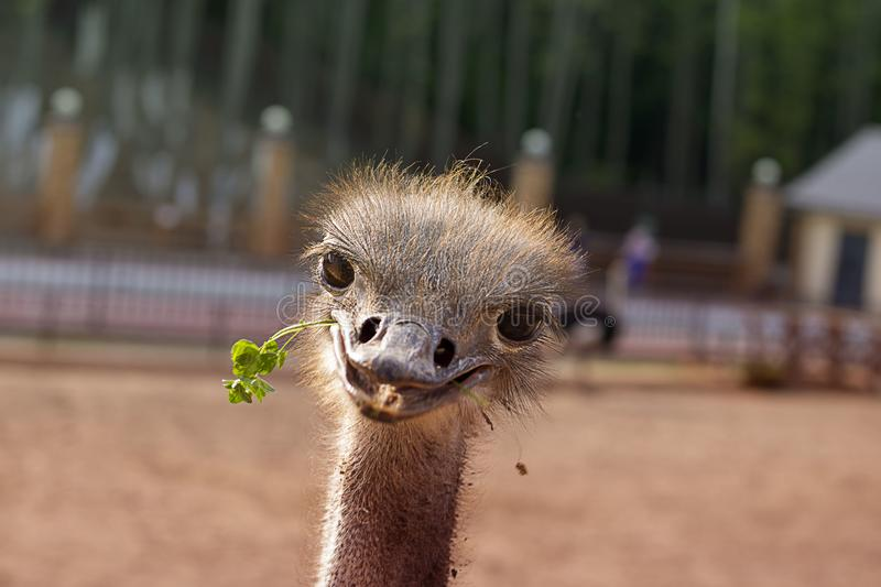 Funny positive smiling ostrich with green grass in its nib. The head of the big bird peeping out. Picture for blog. Emotions, cute animal. Horizontal, copy royalty free stock photo