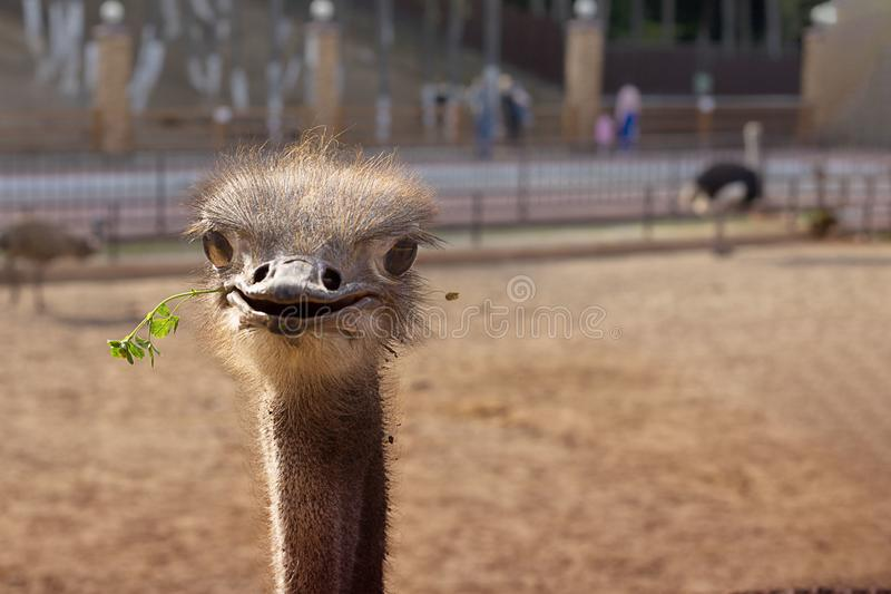 Funny positive smiling ostrich with green grass in its nib in zoo. The head of the big bird peeping out. Picture for. Blog, emotions, cute animal. Horizontal stock photos