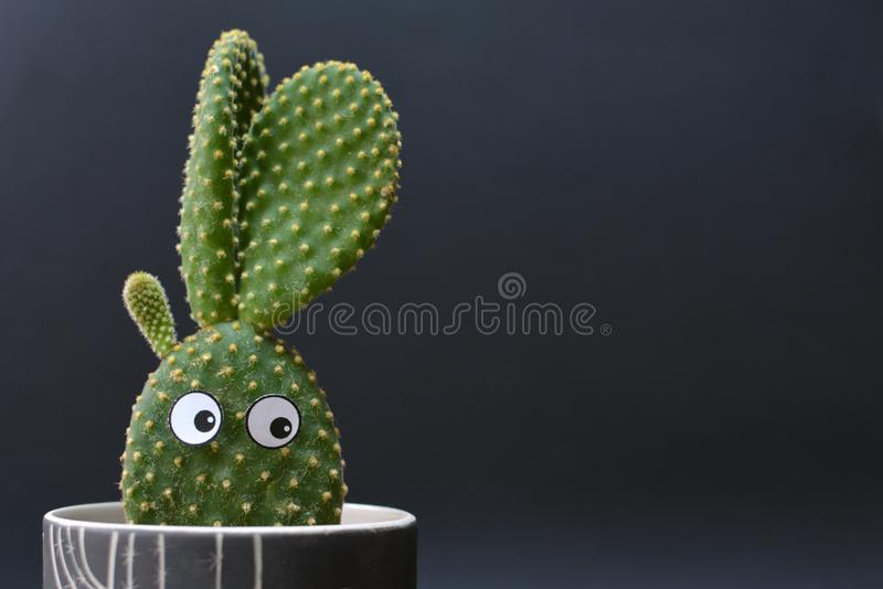 Funny potted Opuntia microdasys bunny ears cactus with googly eyes in front of dark background. Funny potted Opuntia microdasys bunny ears cactus with googly royalty free stock photo