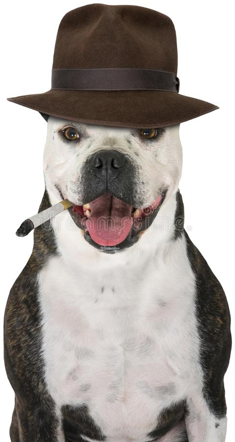 Funny Private Detective Dog, Isolated. Funny private investigator dog wearing an Indiana Jones style fedora hat. The bulldog is smoking a cigarette. Isolated on royalty free stock photography