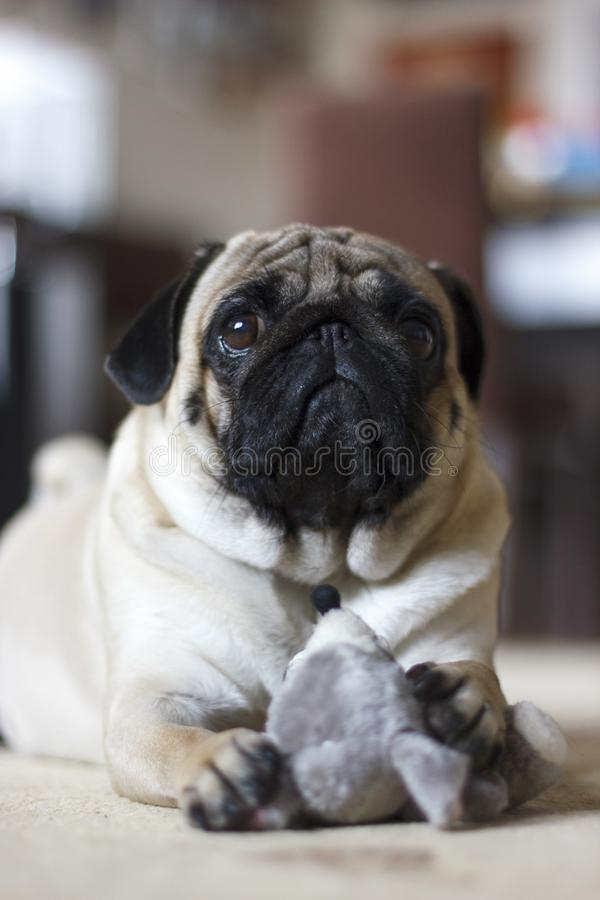 Funny pug dog playing with plush toy mouse. Funny pug dog playing with a plush toy mouse stock photography