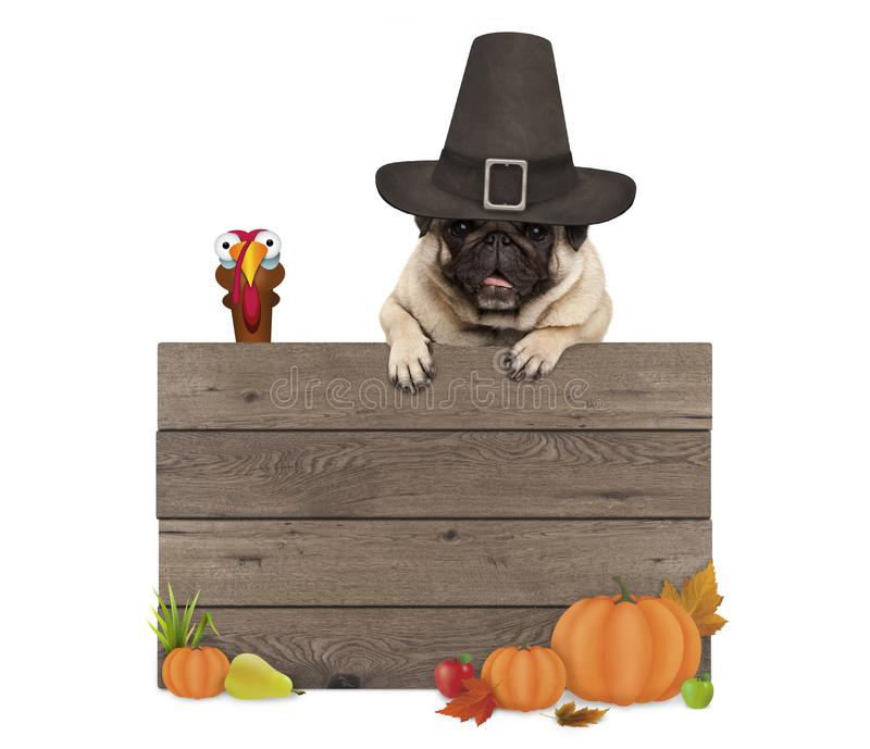 Funny pug dog wearing pilgrim hat for Thanksgiving day, with blank wooden sign and turkey. Isolated on white background stock photography