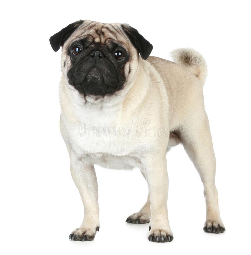 Funny Pug Puppy Royalty Free Stock Photography
