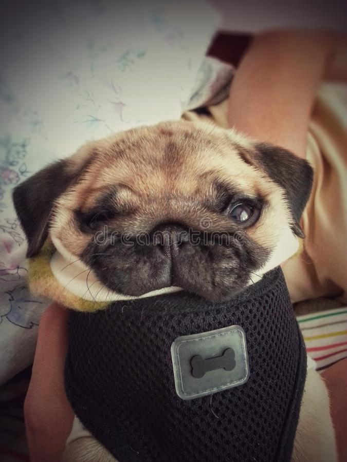 Funny pug puppy stock image