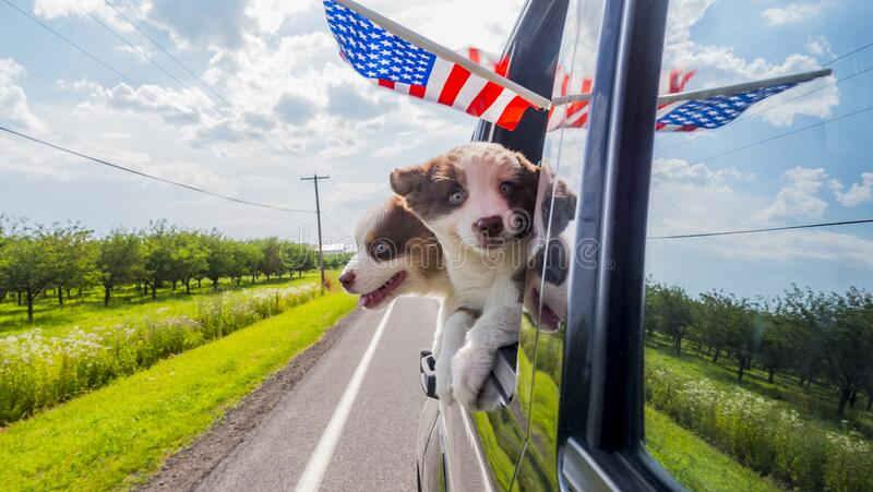 Funny puppies travel in cars around America.  royalty free stock images