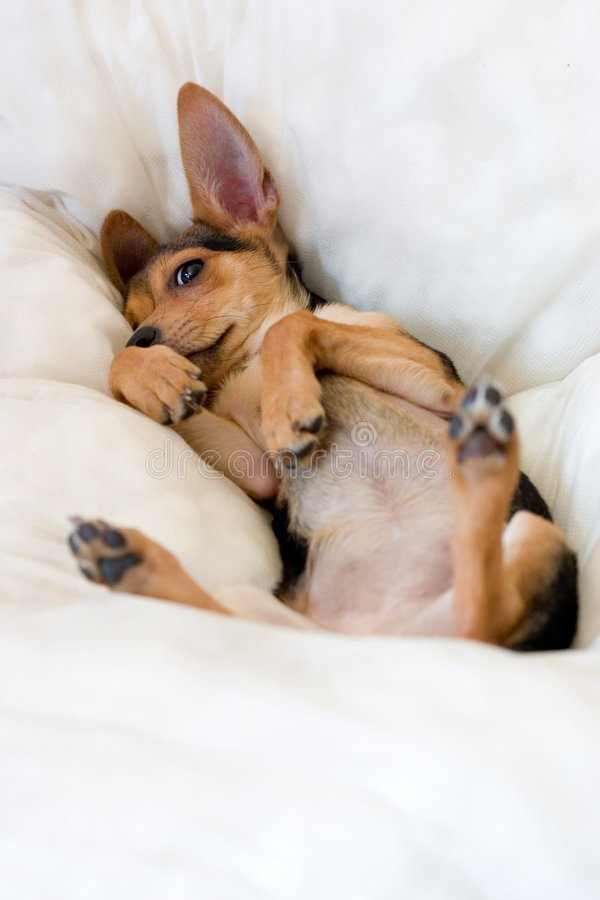 Download Funny puppy stock image. Image of macro, pillow, canine - 2491679
