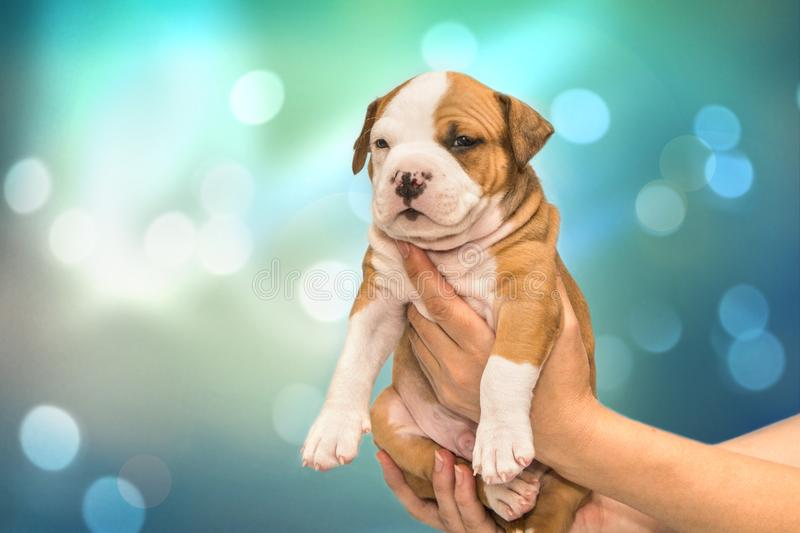 Funny puppy American Staffordshire Terrier in hands on festive blue-green abstract background royalty free stock photo