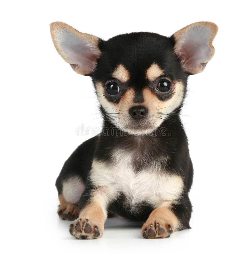 Funny puppy chihuahua lying on white background. Funny puppy chihuahua lying on a white background royalty free stock images