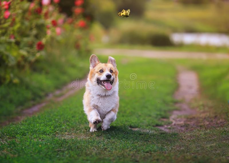 Funny puppy dog red Corgi fun walking on a green flowering meadow and catches a beautiful butterfly Machaon, raising his head high. Funny puppy dog red Corgi fun stock image