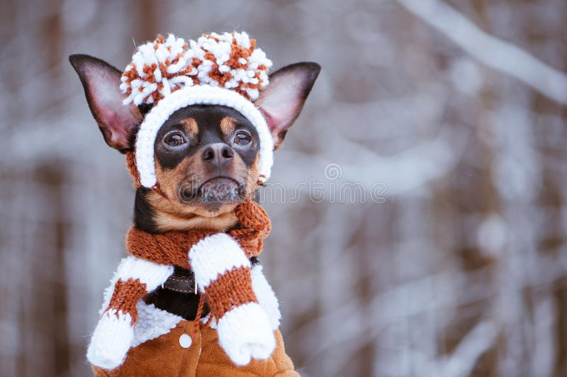 Funny puppy, a dog in a winter hat with pumples in a snowy fores stock photos