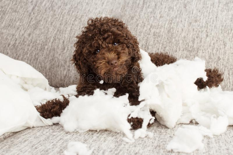 Funny puppy mischief. Naughty chocolate poodle home alone after bite a pillow. Obedience concept.  royalty free stock photo