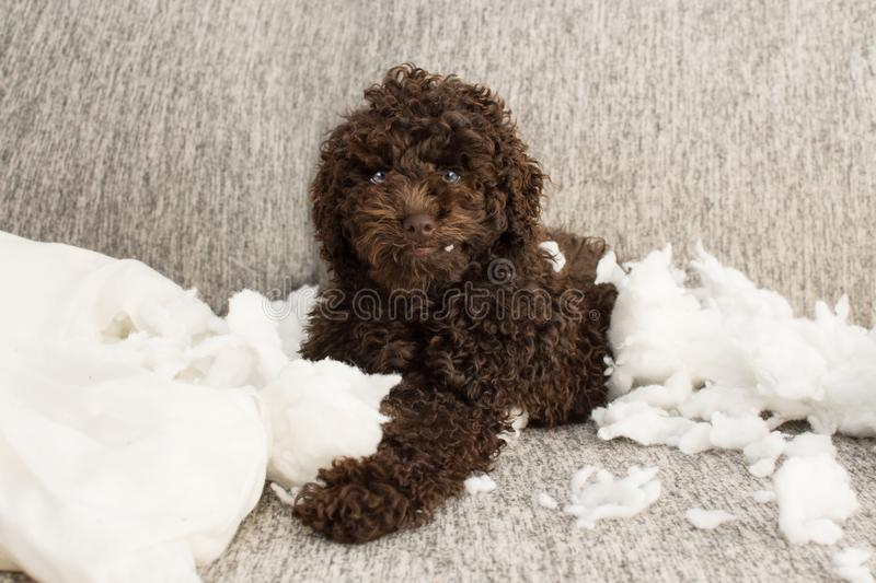 Funny puppy mischief. Poodle dog home alone after bite a pillow. disobey concept stock images