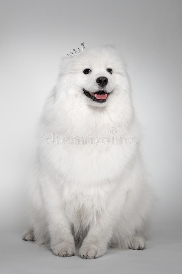 Portrait of funny puppy of Samoyed dog at studio on white background. Cutest puppy looking smiling. Funny puppy of Samoyed dog in crown smiling at studio on stock image