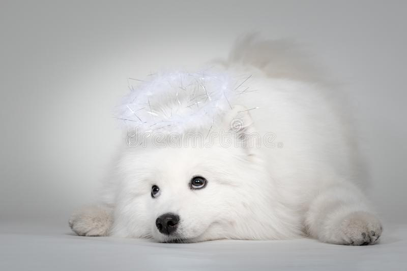 Funny puppy of Samoyed dog portrait with at studio on white background royalty free stock photo