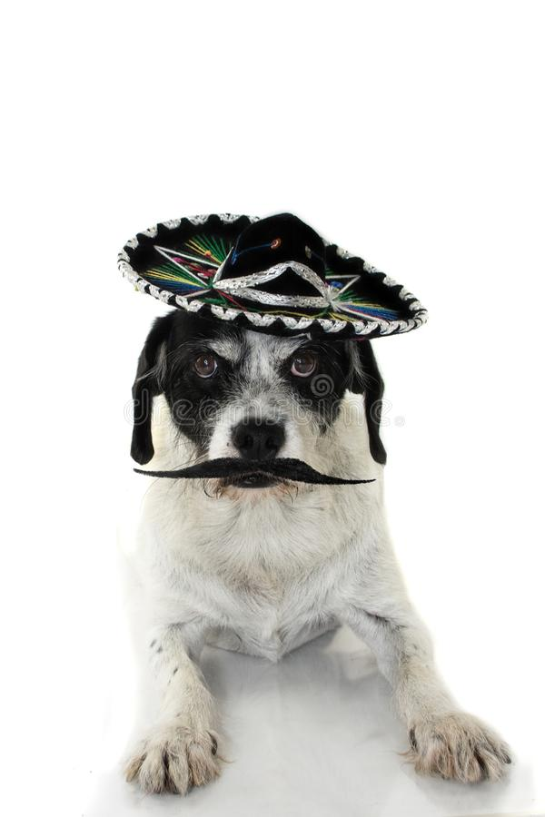 FUNNY PUREBRED DOG WEARING A MEXICAN MARIACHI HAT AND A VERY BIG stock photo